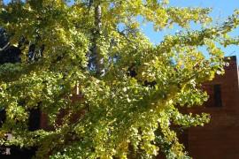 Ginkgo biloba trocando sua cor do verde para o amarelo