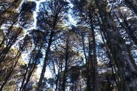Mini Floresta Negra com Ciprestes