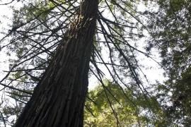 Sequoias-10