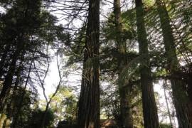 Sequoias-12
