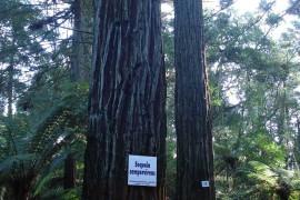 Sequoias-13
