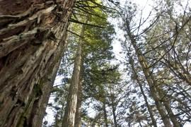 Sequoias-conjunto-2