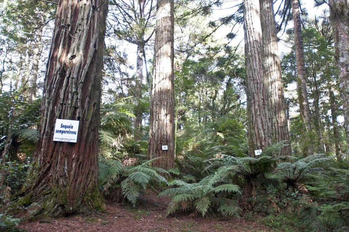 Sequoias-conjunto-4