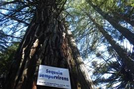 Sequoias-detalhe-tronco-4