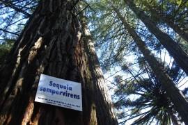 Sequoias-detalhe-tronco-5