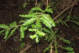 Sequoias-folhas-1