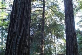ps-sequoias-06