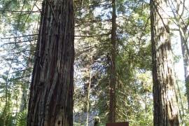 ps-sequoias-07