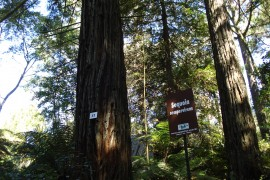 ps-sequoias-08